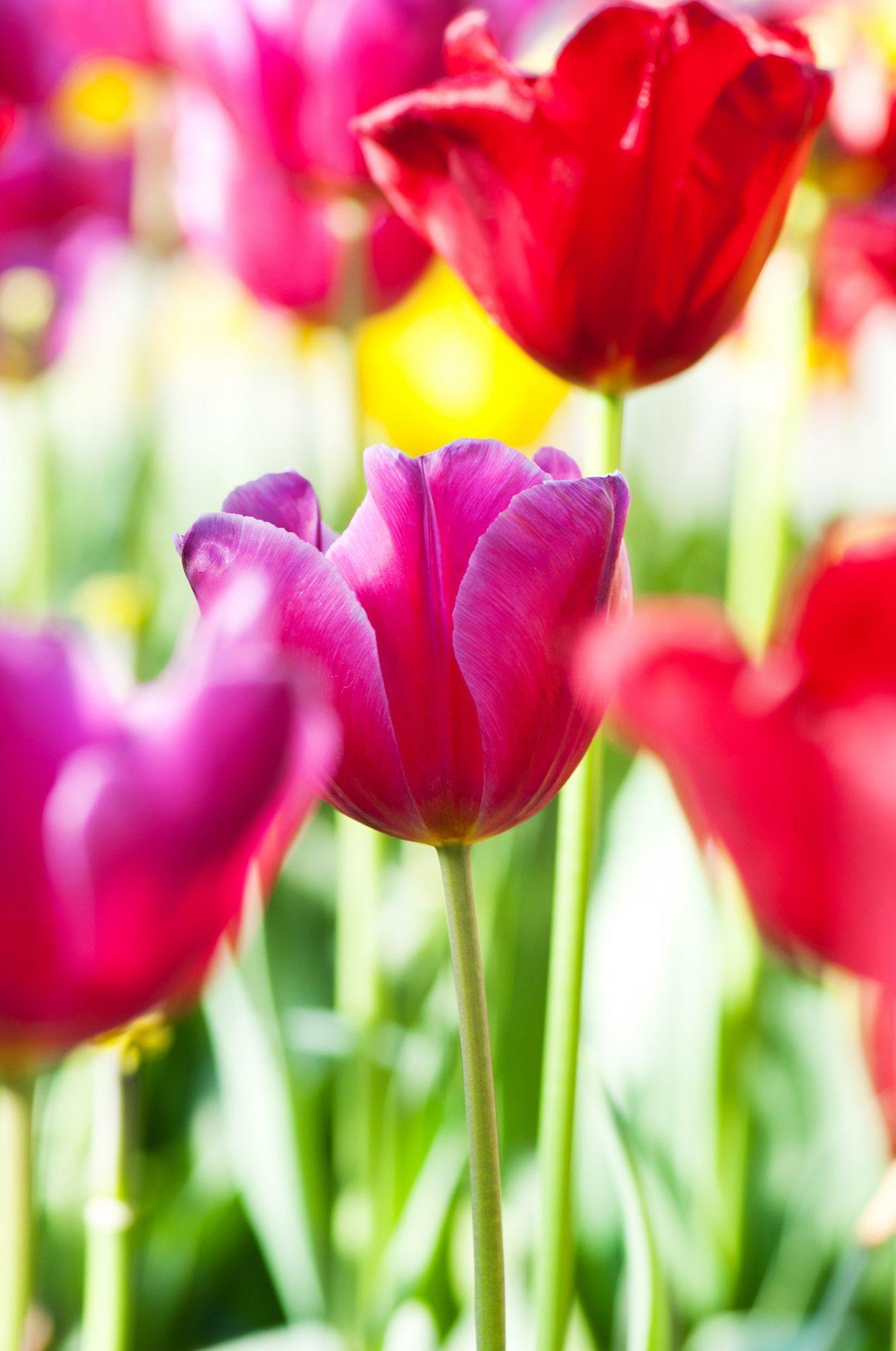 Tulipaner Lyserøde